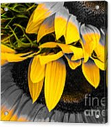 A Different Kind Of Sunflower Acrylic Print
