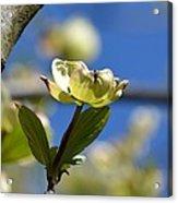A Dogwood Blossom Acrylic Print