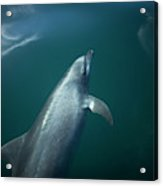 A Dolphin Swims In The Bay Acrylic Print