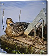 A Duck With Style Acrylic Print