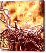 A Eaglet In Down Acrylic Print