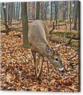 A Eight Point Buck 1261 Acrylic Print