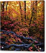 A Fall Forest  Acrylic Print