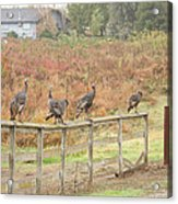 A Fence Line Of Fall Turkeys Acrylic Print