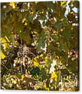 A Few Grapes Left For The Birds Acrylic Print