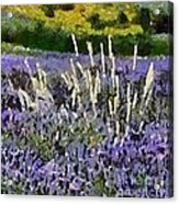 A Field Of Lavender Acrylic Print