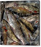 A Fine Catch Of Trout - Steel Engraving Acrylic Print