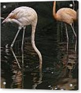 A Flamingo With Its Head Under Water In The Jurong Bird Park Acrylic Print
