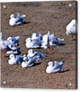 A Flock Of Seagulls Acrylic Print