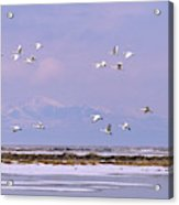 A Flock Of Swans Flies Over Water Acrylic Print