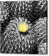 A Flower Among Thorns Acrylic Print
