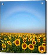 A Fog Bow Over The Colorado Sunflower Fields Acrylic Print