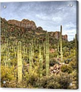 A Forest Of Saguaros  Acrylic Print
