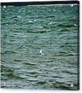 A Forster Tern Fighting The Winds Out At Sea Acrylic Print