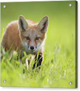 A Fox In The Grass  Montreal, Quebec Acrylic Print
