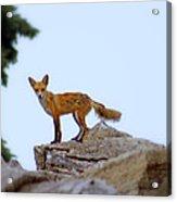 A Fox On The Rocks Acrylic Print
