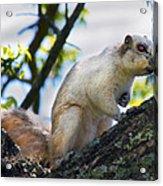 A Fox Squirrel Poses Acrylic Print