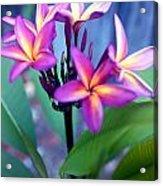 A  Frangipani Tree In Bloom Acrylic Print by Steven Valkenberg