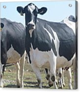 A Full Grown Holstein Cow Acrylic Print