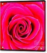A Fuschia Pink Rose Acrylic Print