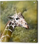 A Gentle Giant Acrylic Print by Lori Tambakis