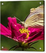A Georgous Butterfly Macrophotography Acrylic Print