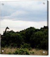 A Giraffe Giraffa Camelopardalis Among Acrylic Print