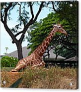 A Giraffe Rests In Honolulu Acrylic Print