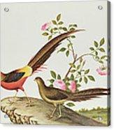 A Golden Pheasant Acrylic Print