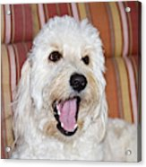 A Goldendoodle Lying On A Lawn Chair Acrylic Print