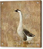 A Goose Is A Goose Acrylic Print by Betty LaRue