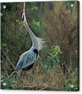 A Great Blue Heron Exhibits Greeting Acrylic Print