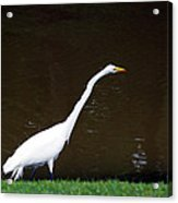 A Great Egret On Hilton Head Island Acrylic Print