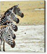 A Grevys Zebra In Ngorongoro Crater Acrylic Print