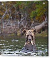A Grizzly Cub Fishing Acrylic Print