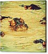 A Group Of Hippos In A River. Tanzania Acrylic Print