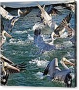 A Group Of Pelicans Acrylic Print