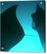 A Group Of Silhouetted Manta Rays Acrylic Print