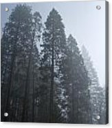 A Grove Of Pine Trees In Yosemite Valley Acrylic Print