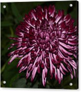 A Happy Birthday Wish With An Elegant Maroon And Pink Mum Acrylic Print