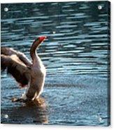 A Happy Goose Acrylic Print