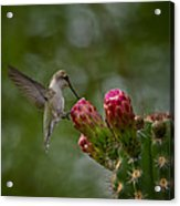 A Happy Little Hummer  Acrylic Print