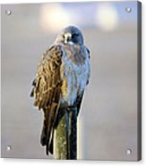 A Hawk On A Fence Post  Acrylic Print