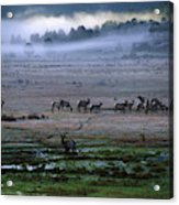 A Heard Of Elk Graze In A Misty Meadow Acrylic Print