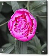 A Hint Of Pink In The Garden Acrylic Print