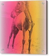 A Horse Baby Is A Fragile Creature, Ready To Run For Its Life  Acrylic Print