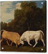 Bulls Fighting Acrylic Print