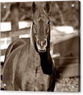 A Horse Is A Horse II Acrylic Print