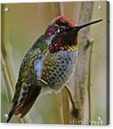 A Hummingbird Rainbow Acrylic Print