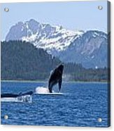A Humpback Whale Calf Breaches As Its Acrylic Print